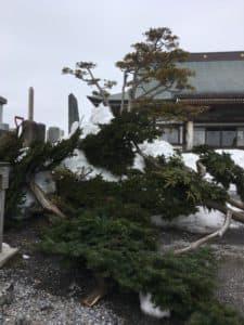 雪害で折れたイチイの木